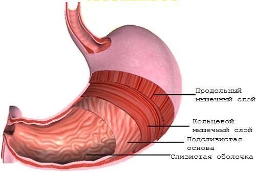 подслизистый слой желудка