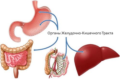 органы жкт