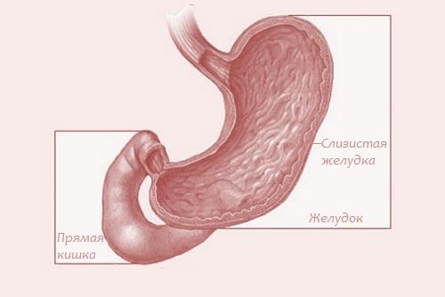 слизистый слой желудка