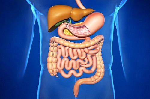 органы пищеварения